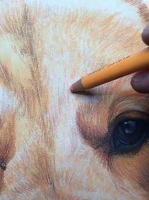 how to draw a pet portrait dog golden retriever jenna harrison imagine art